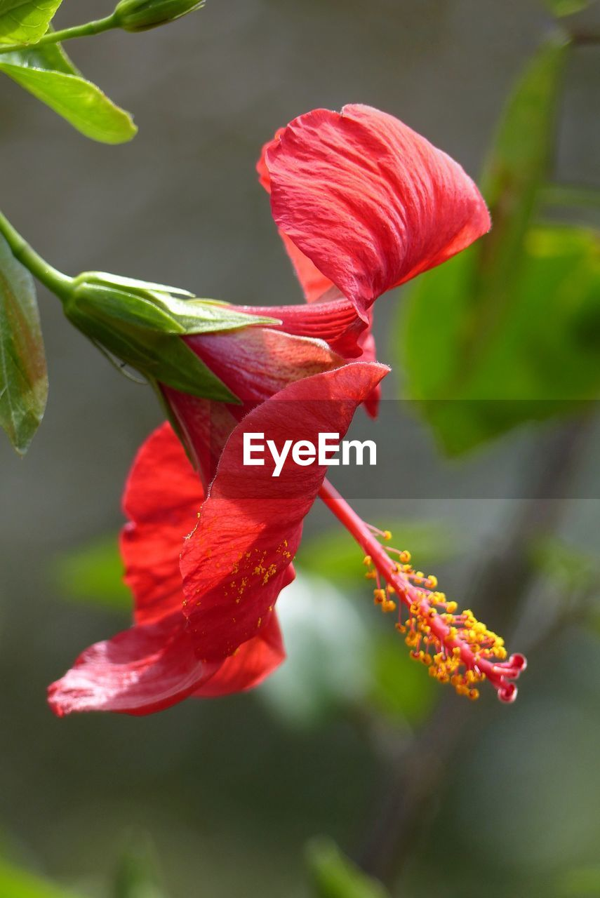 flowering plant, plant, flower, beauty in nature, growth, vulnerability, fragility, petal, close-up, inflorescence, freshness, flower head, red, focus on foreground, nature, no people, day, plant stem, outdoors, plant part, pollen