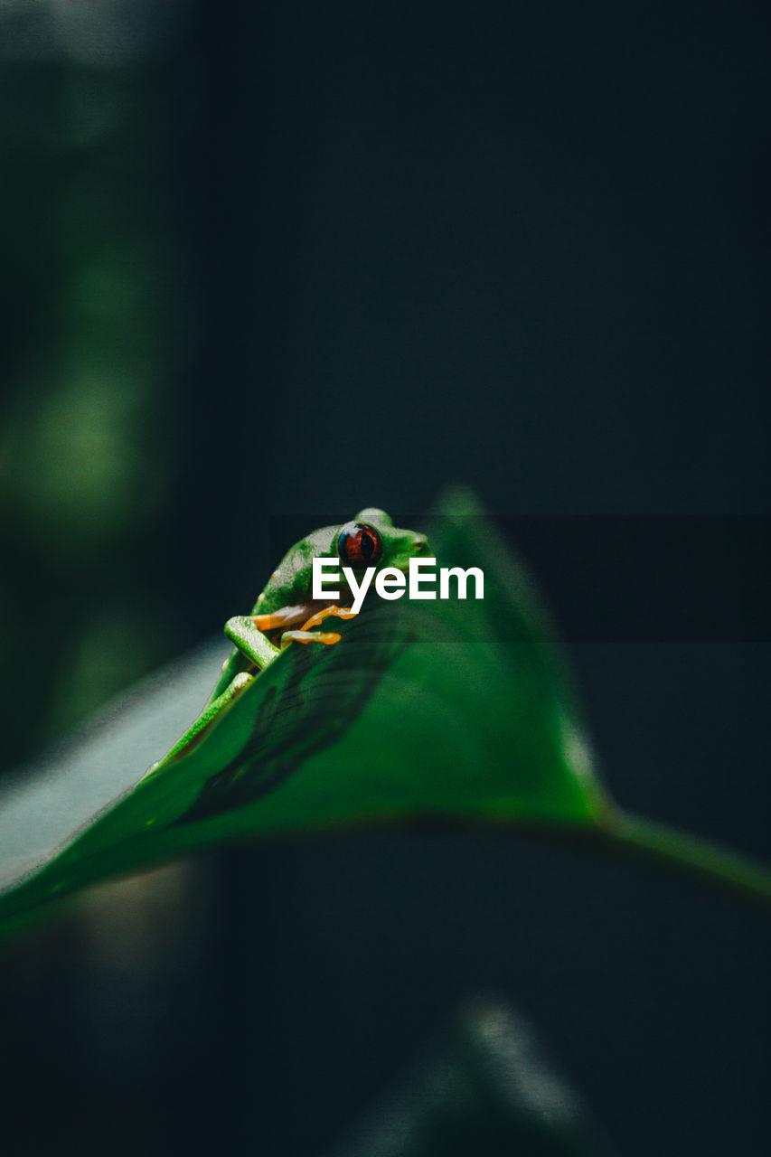 CLOSE-UP OF FROG ON GREEN LEAF
