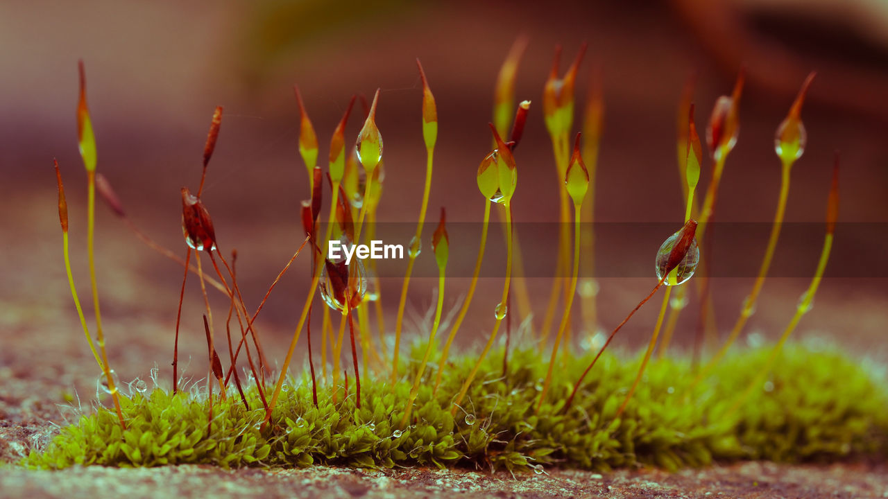 Extreme closeup of moss flowers with selective focusing. ecology, preserve the earth and background.