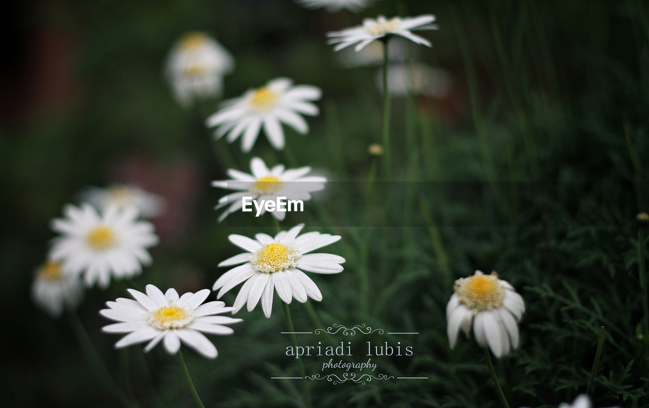 flower, fragility, petal, freshness, white color, growth, focus on foreground, flower head, daisy, blooming, beauty in nature, plant, nature, close-up, stem, in bloom, pollen, high angle view, field, day
