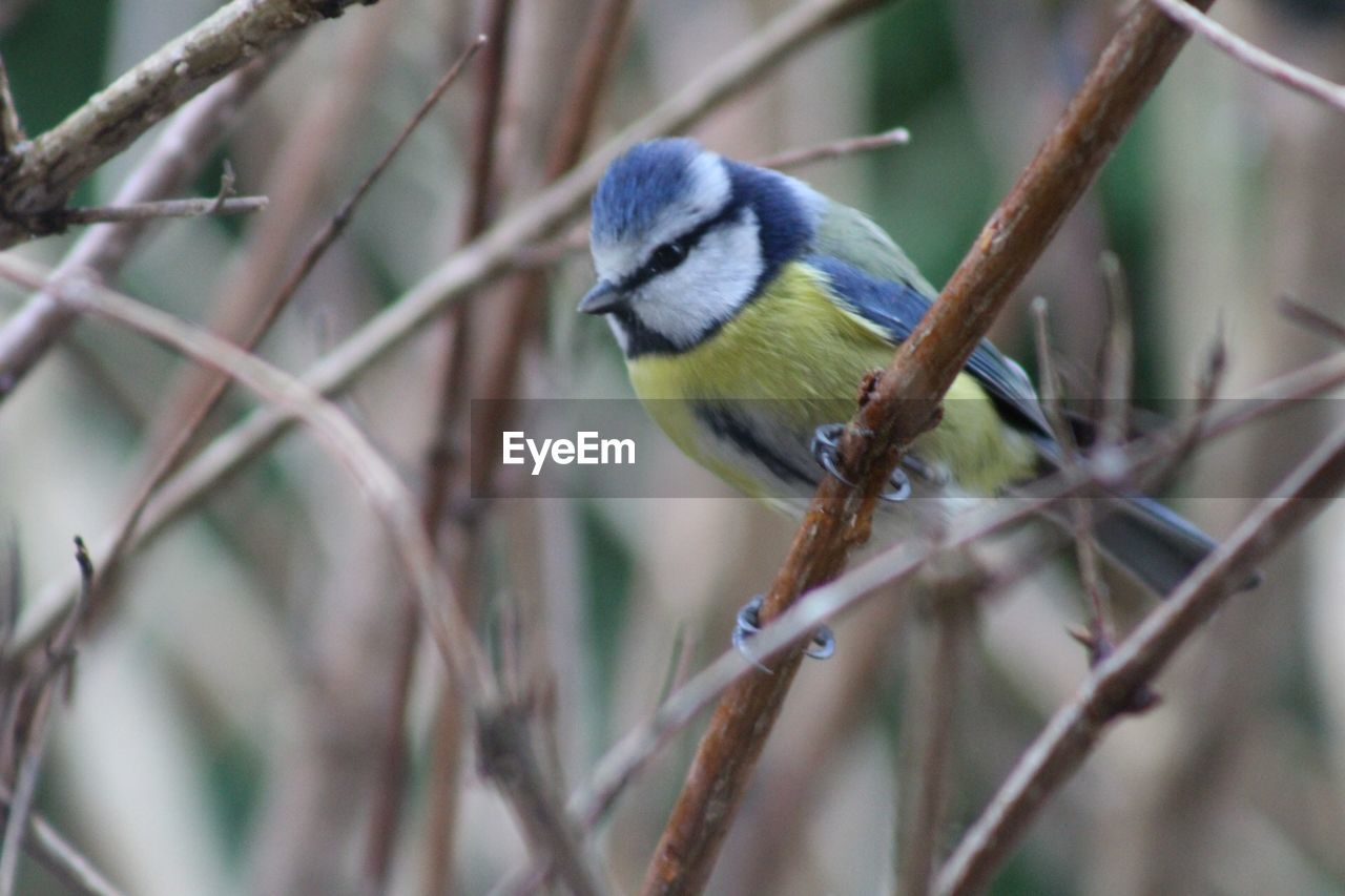 bird, vertebrate, perching, animals in the wild, one animal, animal themes, animal wildlife, animal, bluetit, branch, day, focus on foreground, tree, plant, no people, selective focus, twig, nature, close-up, outdoors