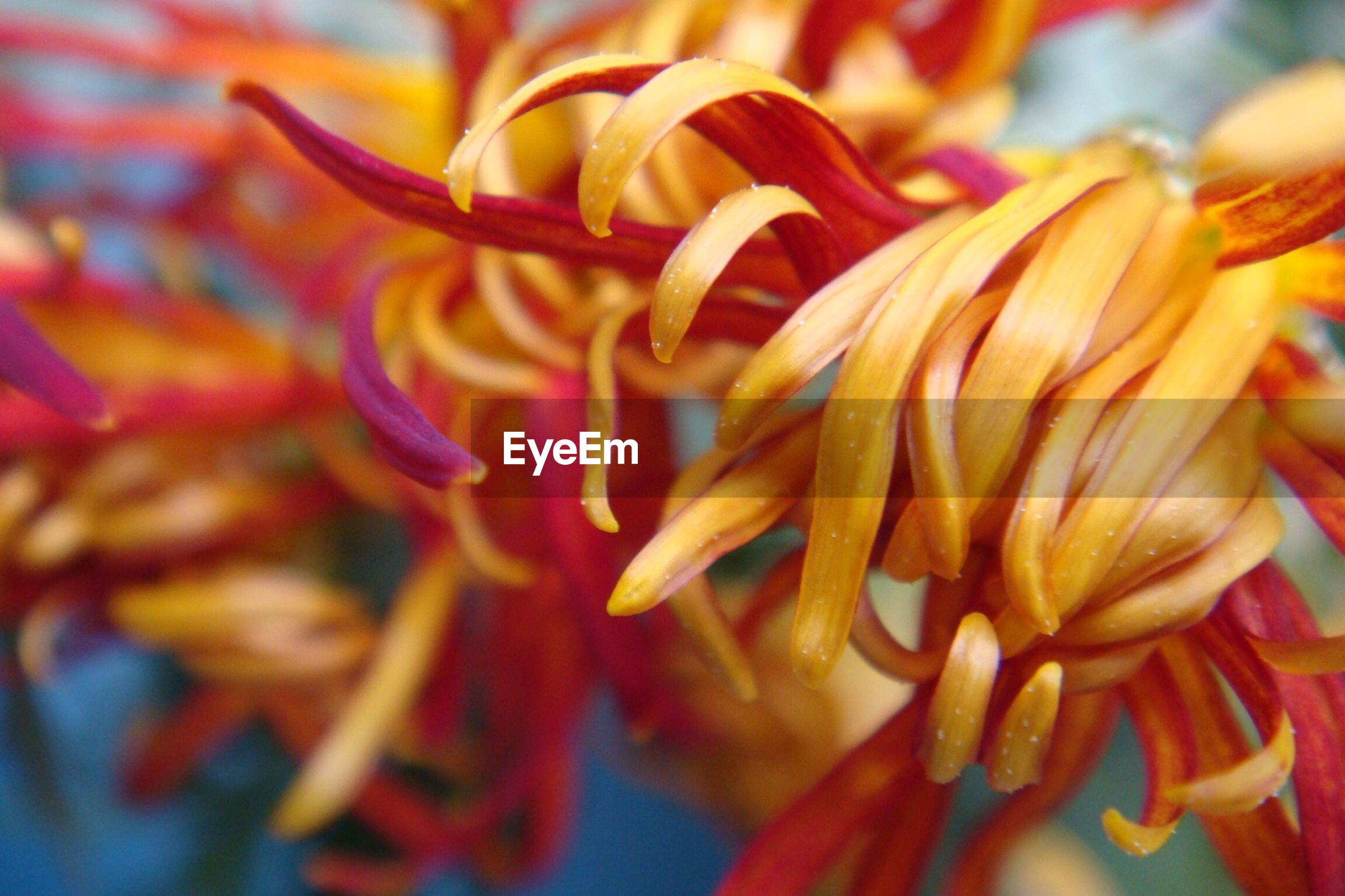 flower, petal, freshness, flower head, close-up, fragility, beauty in nature, growth, full frame, nature, orange color, backgrounds, blooming, focus on foreground, selective focus, red, plant, no people, abundance, yellow