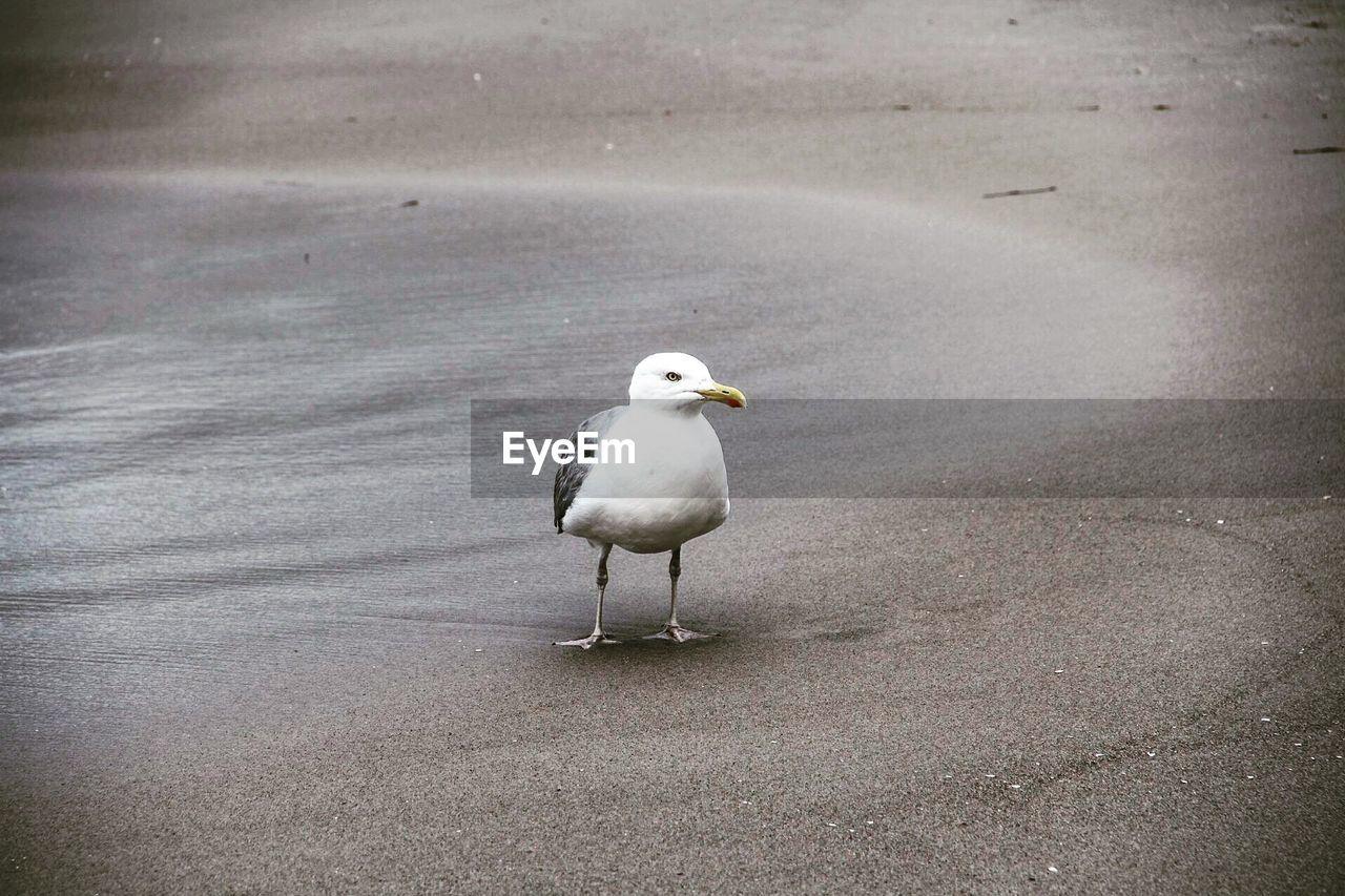 Seagull At Sandy Beach