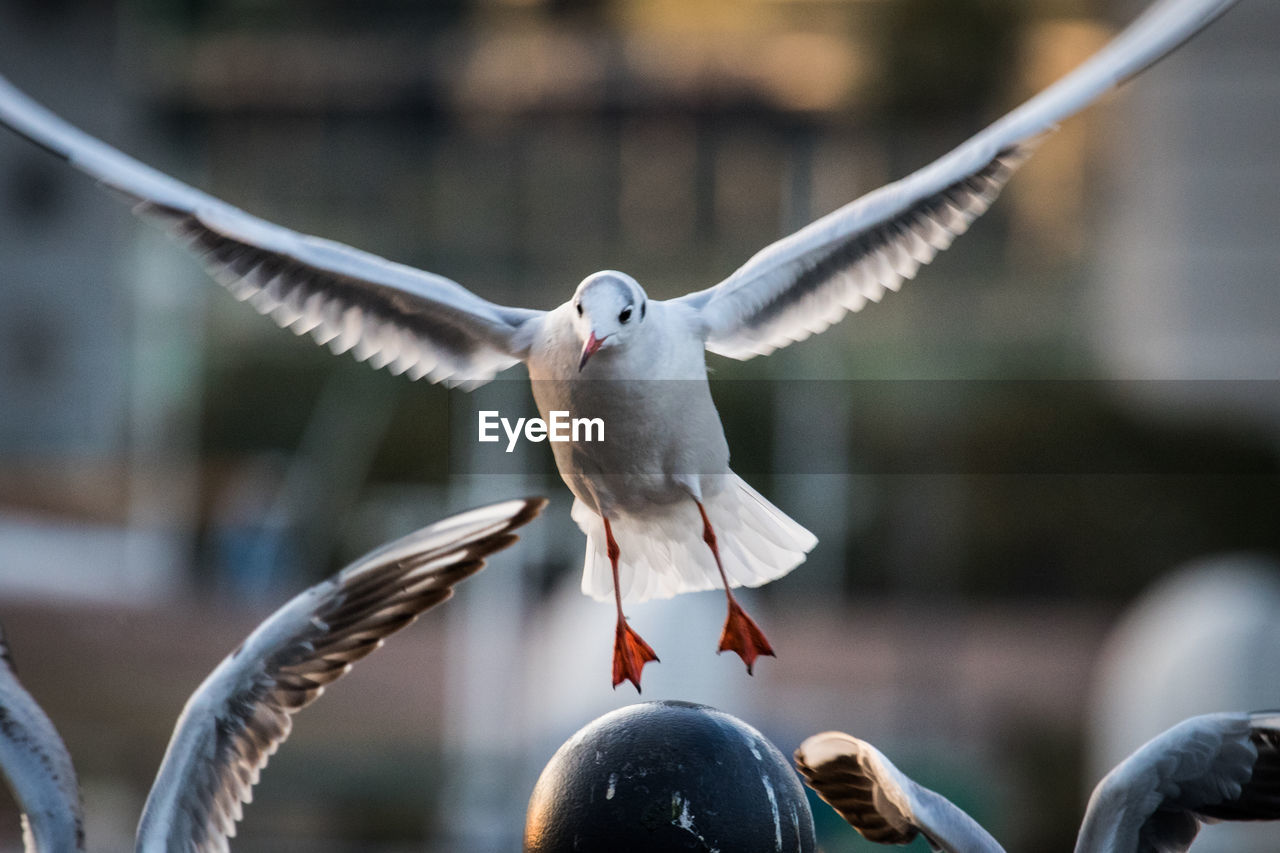 bird, animal, animal themes, vertebrate, spread wings, animal wildlife, animals in the wild, flying, focus on foreground, day, no people, seagull, one animal, nature, close-up, motion, mid-air, outdoors, black-headed gull, flapping