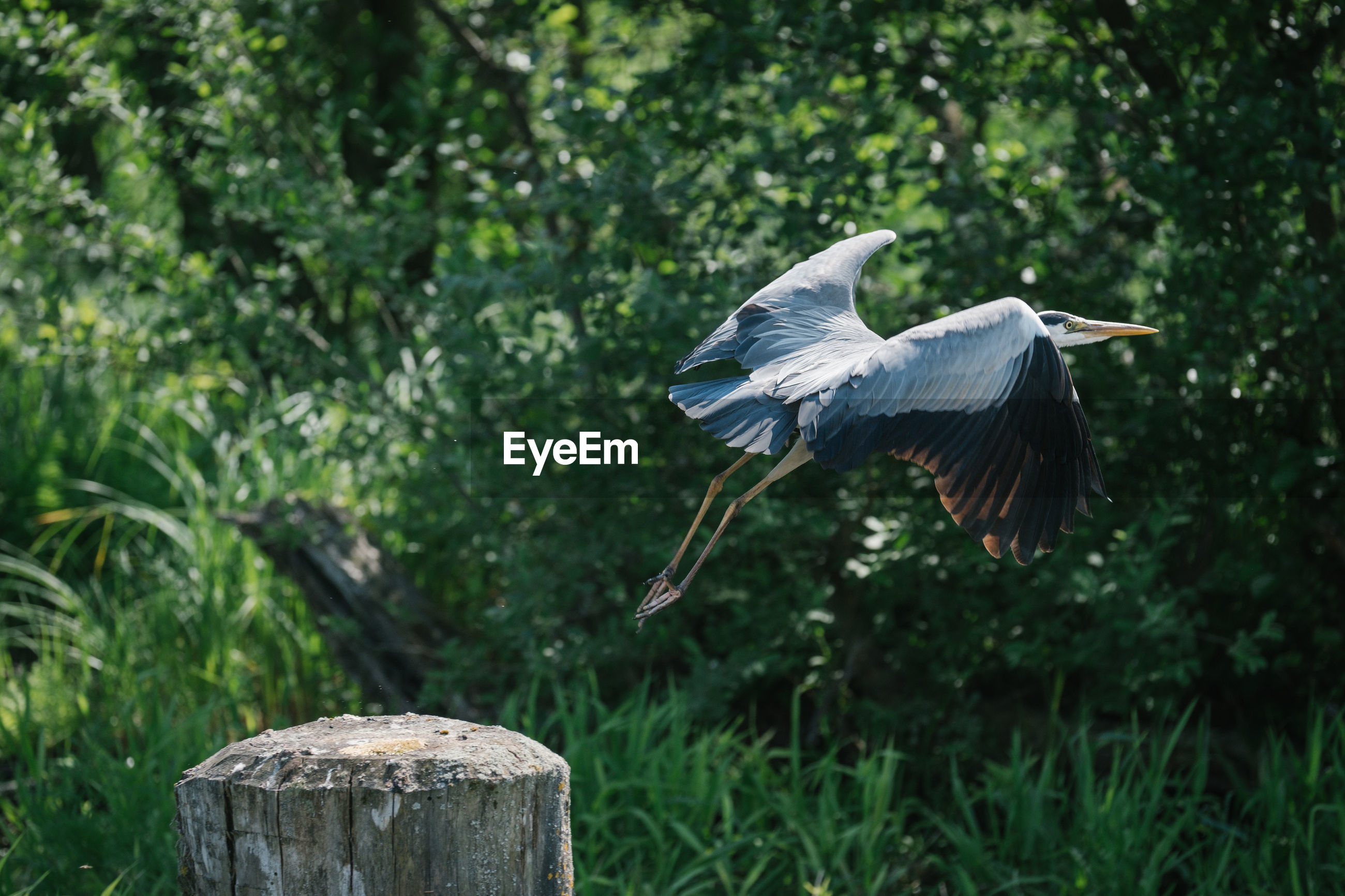 vertebrate, bird, animals in the wild, animal wildlife, animal themes, flying, animal, spread wings, one animal, focus on foreground, plant, nature, tree, no people, day, green color, side view, mid-air, outdoors, heron, wooden post
