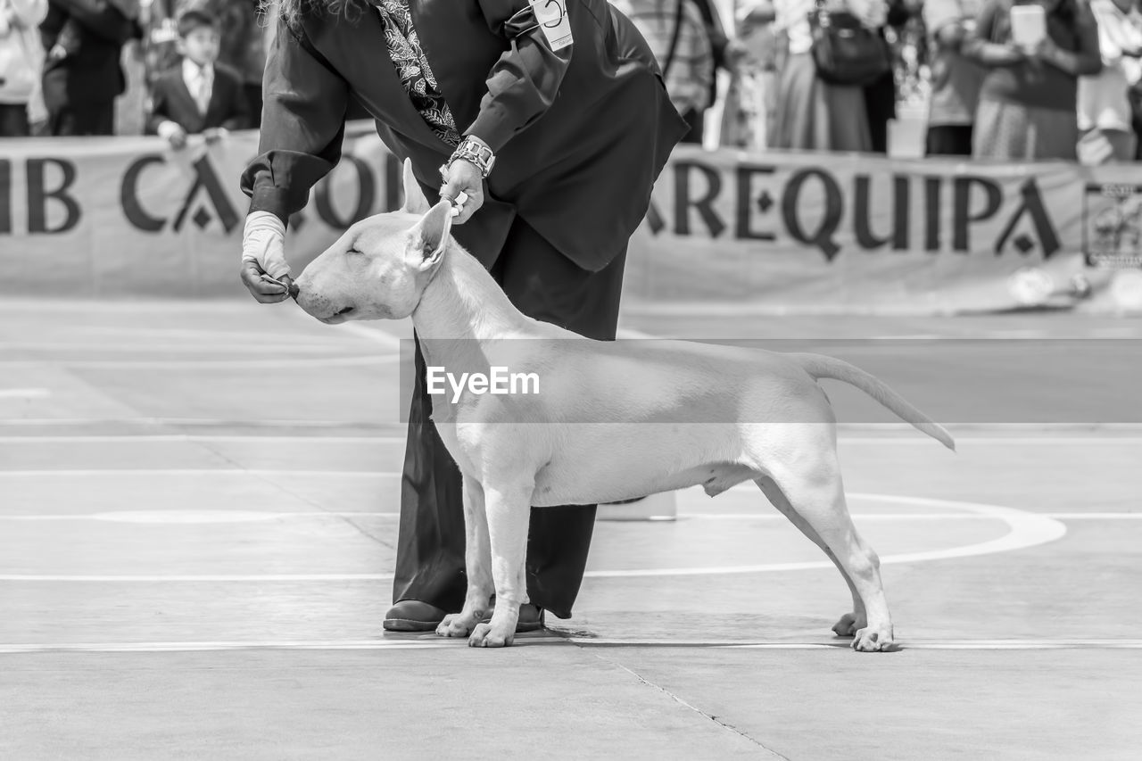 Low section of owner with bull terrier at dog show