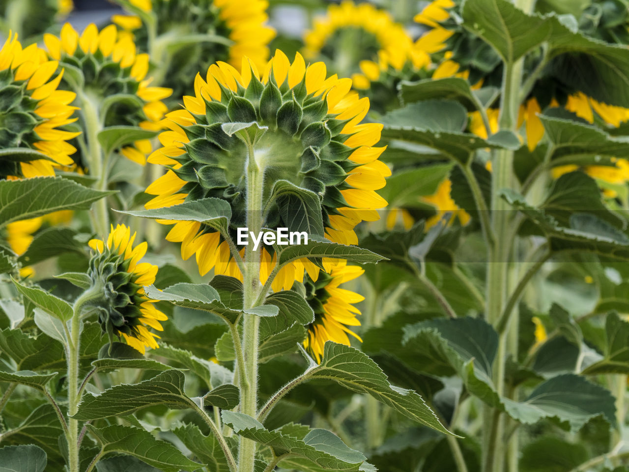 yellow, growth, plant, flower, freshness, flowering plant, beauty in nature, plant part, fragility, leaf, vulnerability, field, close-up, flower head, sunflower, green color, land, petal, nature, day, no people, outdoors