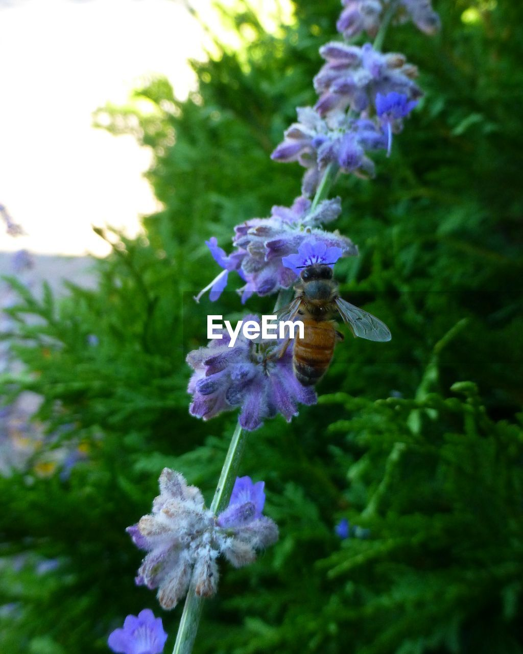 flower, fragility, beauty in nature, purple, nature, growth, petal, freshness, plant, no people, day, one animal, focus on foreground, outdoors, flower head, blooming, motion, animal themes, pollination, close-up, bee
