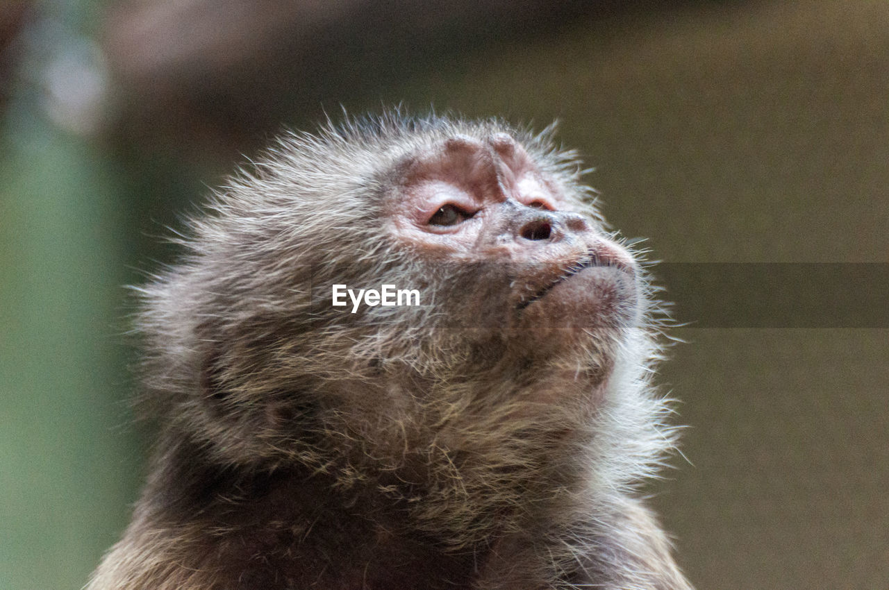 one animal, animal themes, animals in the wild, close-up, mammal, focus on foreground, animal wildlife, no people, day, nature, outdoors, japanese macaque