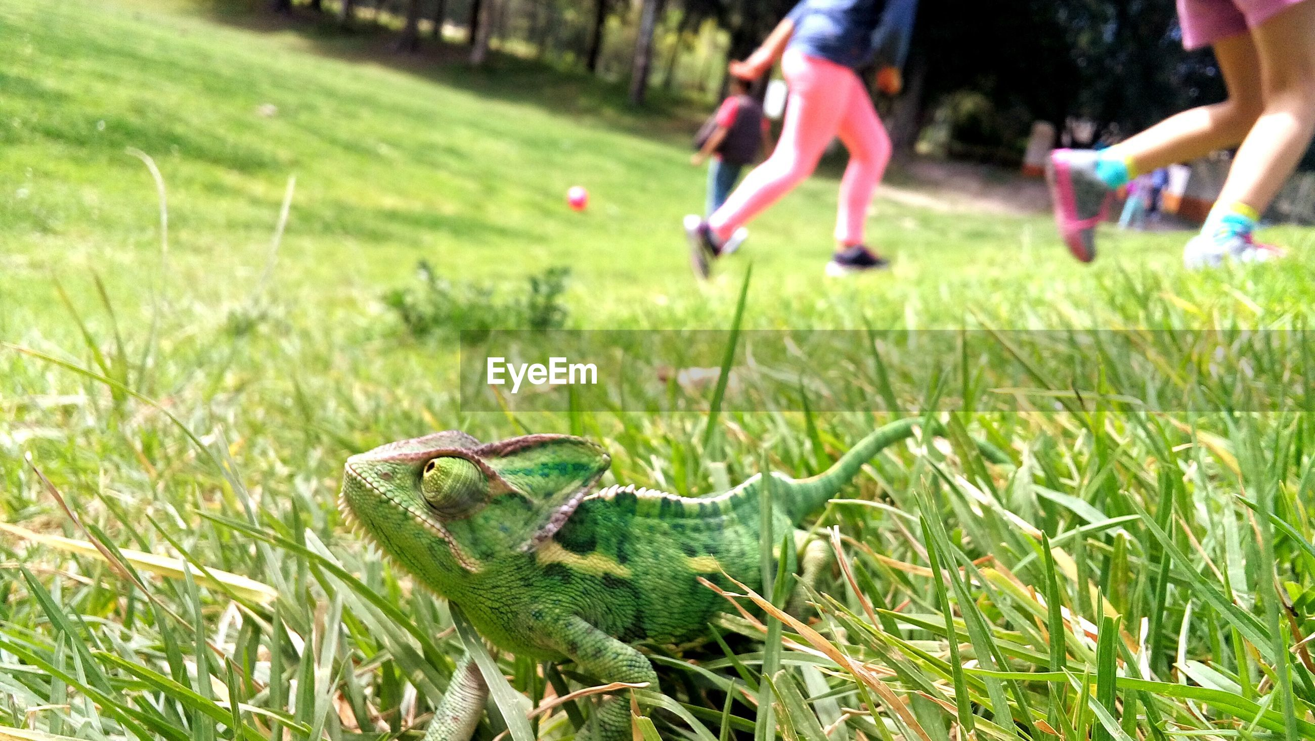 Close-up of chameleon on grass in park