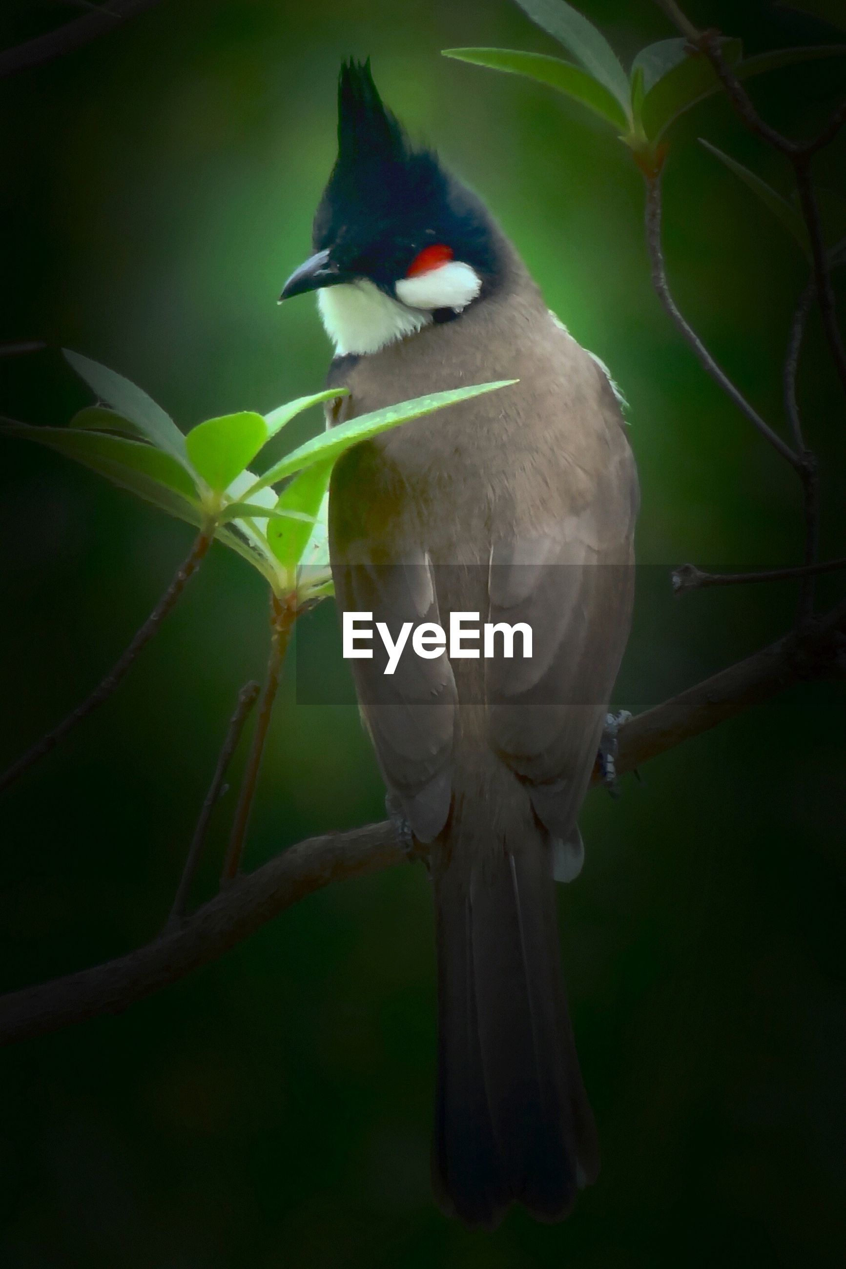Close-up of red-vented bulbul perching on branch