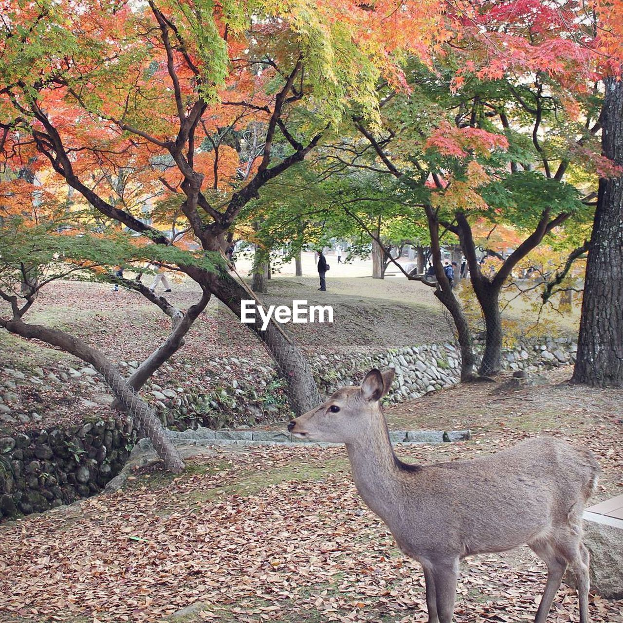 animal wildlife, tree, animals in the wild, deer, animal themes, beauty in nature, autumn, nature, mammal, one animal, stag, bare tree, outdoors, day, no people