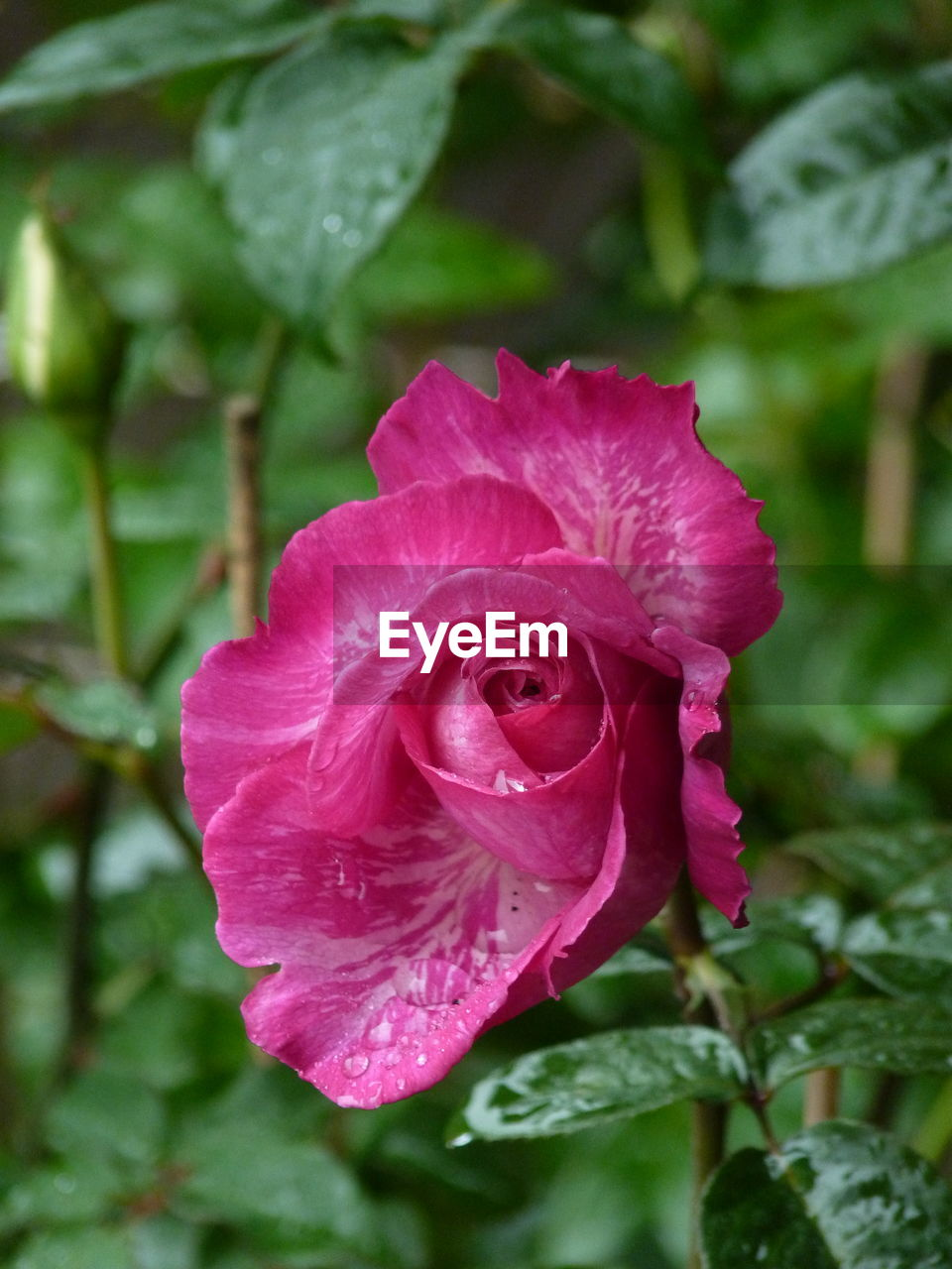 flower, petal, nature, growth, plant, rose - flower, flower head, fragility, drop, beauty in nature, pink color, wet, no people, freshness, water, blooming, outdoors, close-up, leaf, day