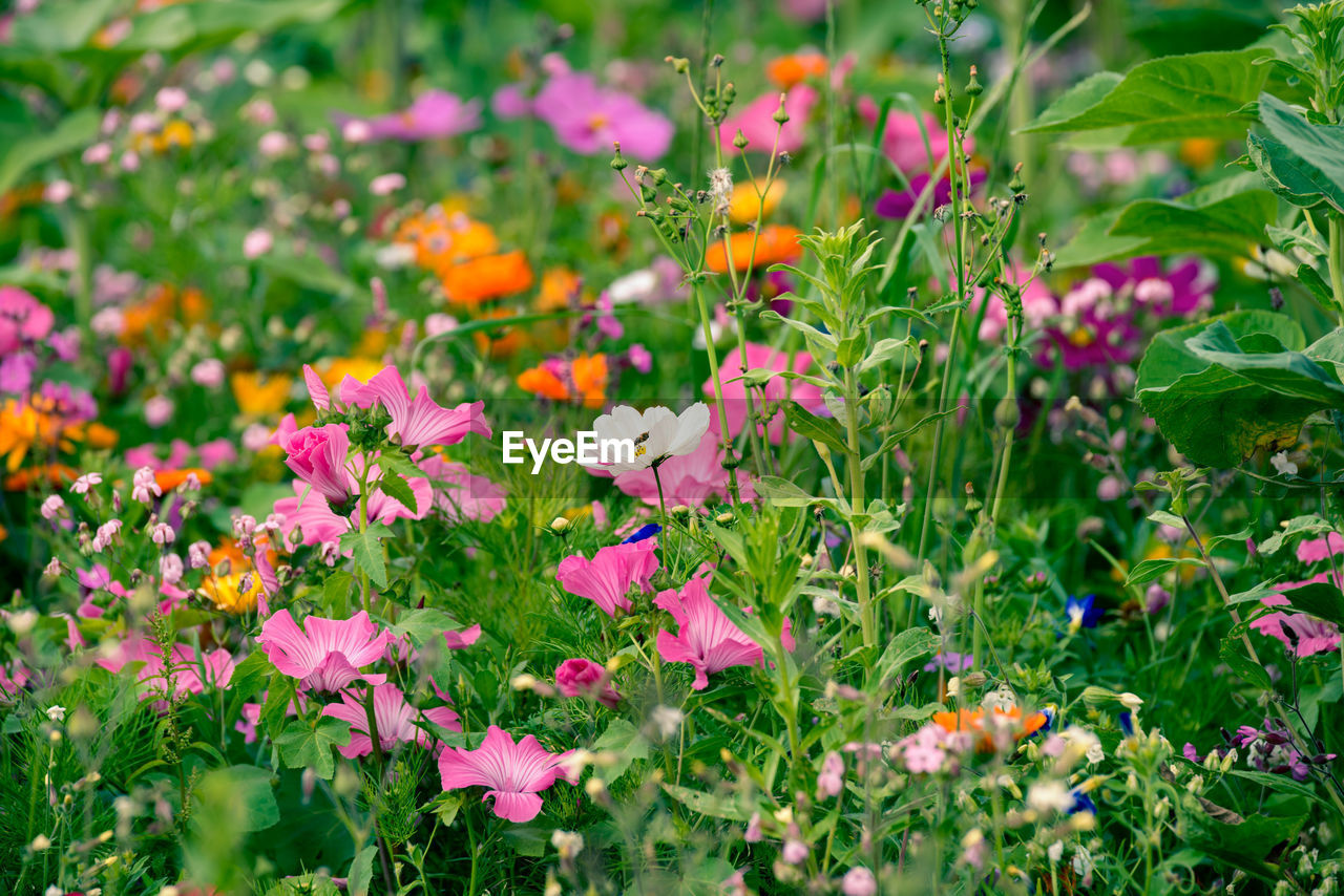 flowering plant, flower, plant, fragility, vulnerability, beauty in nature, freshness, growth, petal, pink color, green color, nature, flower head, day, no people, close-up, inflorescence, selective focus, land, field, outdoors