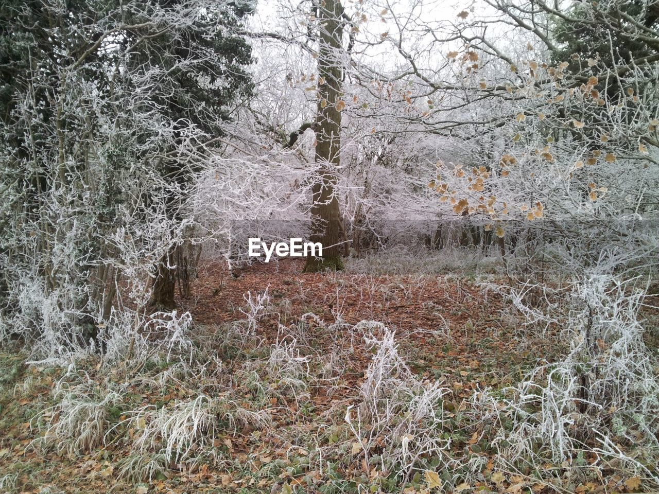plant, tree, land, cold temperature, winter, forest, nature, snow, growth, no people, day, beauty in nature, tranquility, non-urban scene, outdoors, trunk, tree trunk, scenics - nature, field, woodland, snowing