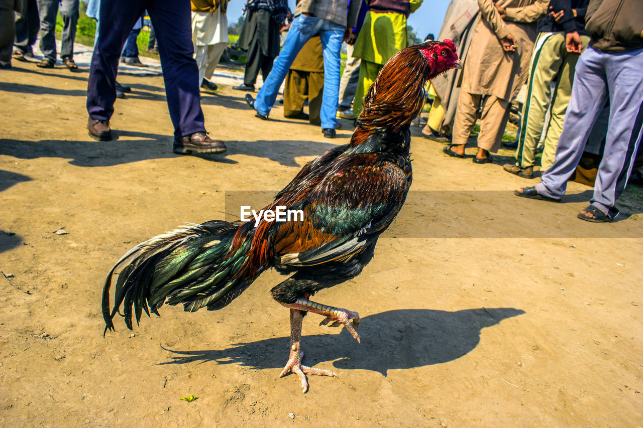 vertebrate, bird, livestock, day, domestic animals, male animal, chicken, sunlight, shadow, chicken - bird, rooster, men, nature, low section, group of people, real people, human body part, feather, outdoors