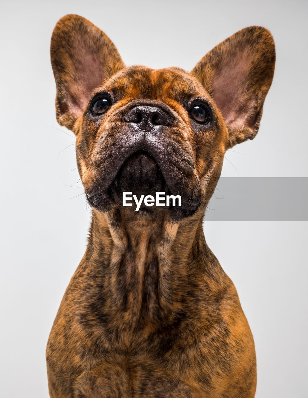one animal, studio shot, animal themes, animal, canine, domestic animals, dog, portrait, indoors, domestic, mammal, pets, close-up, brown, vertebrate, looking at camera, no people, front view, white background, animal head