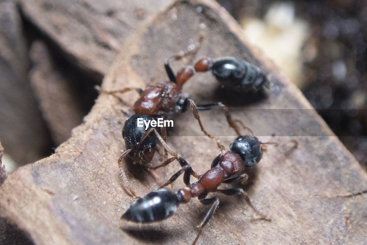 close-up, animals in the wild, animal wildlife, animal themes, insect, invertebrate, animal, selective focus, day, group of animals, no people, nature, ant, black color, wood - material, outdoors, high angle view, zoology, food