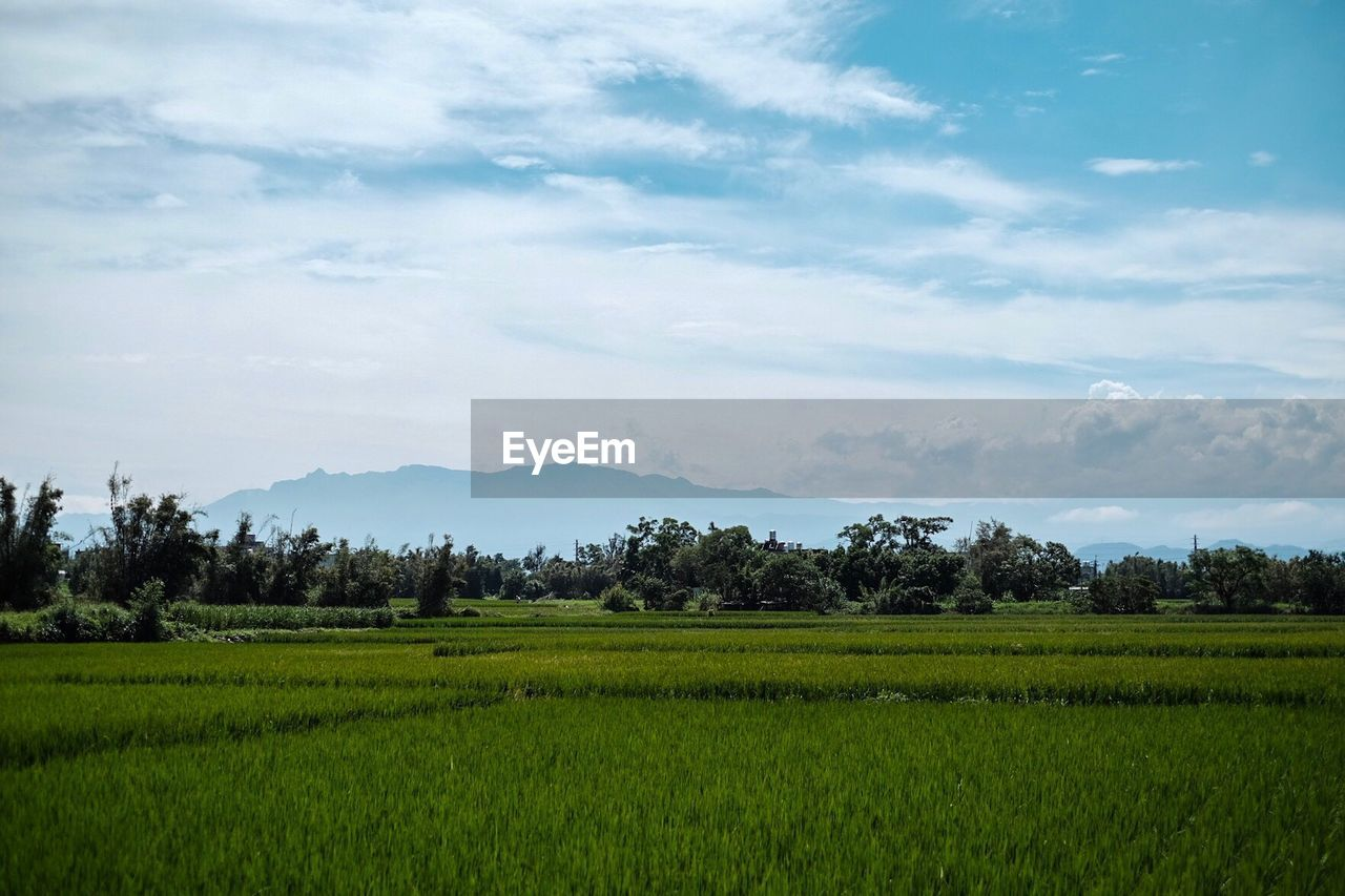 field, agriculture, landscape, nature, growth, beauty in nature, tranquil scene, farm, tranquility, scenics, no people, sky, rural scene, cloud - sky, tree, green color, day, rice paddy, outdoors, rice - cereal plant