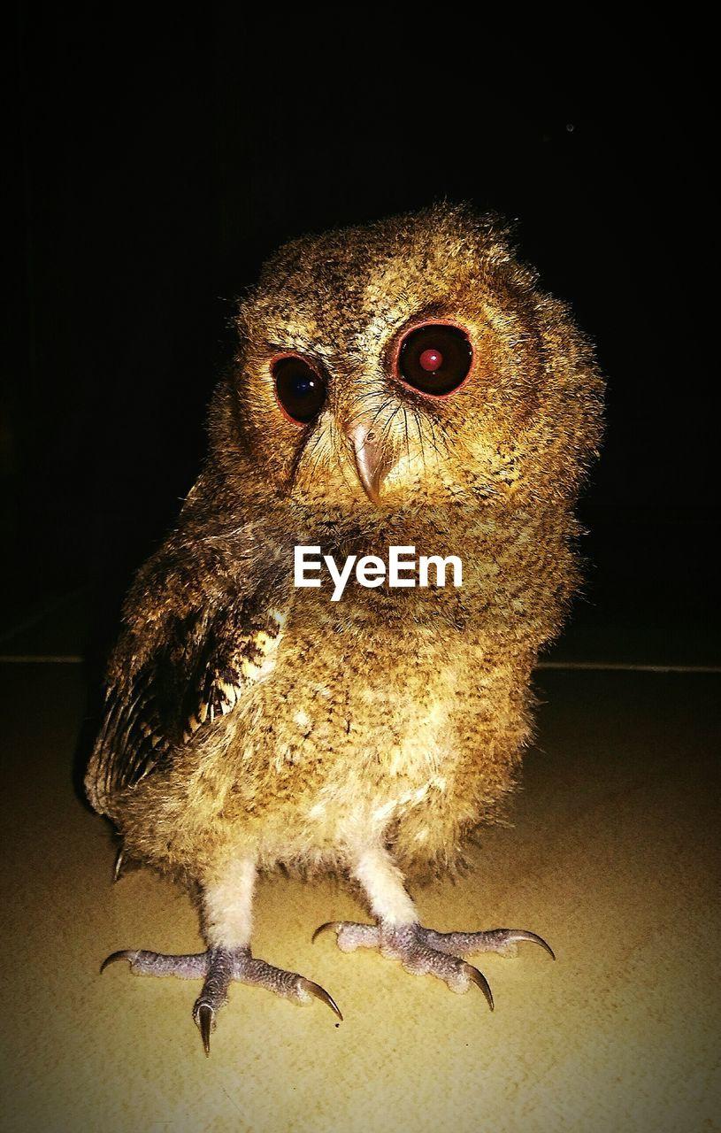 one animal, animal themes, bird, close-up, animals in the wild, no people, night, indoors, portrait, bird of prey, black background, owl, mammal