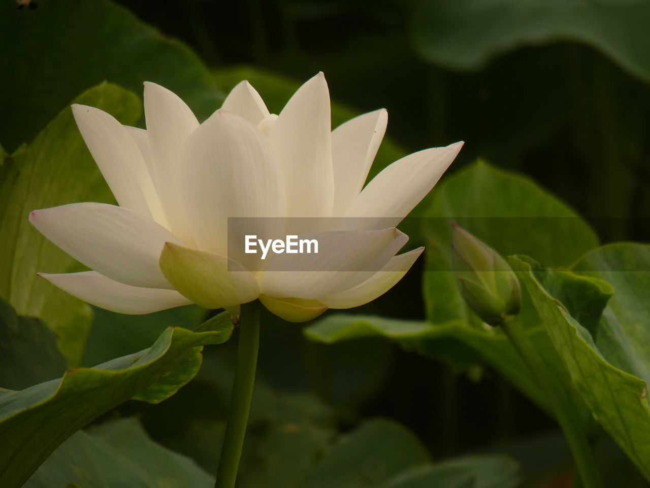 flower, petal, beauty in nature, flower head, nature, growth, fragility, freshness, plant, white color, blooming, day, leaf, close-up, no people, outdoors, lotus water lily