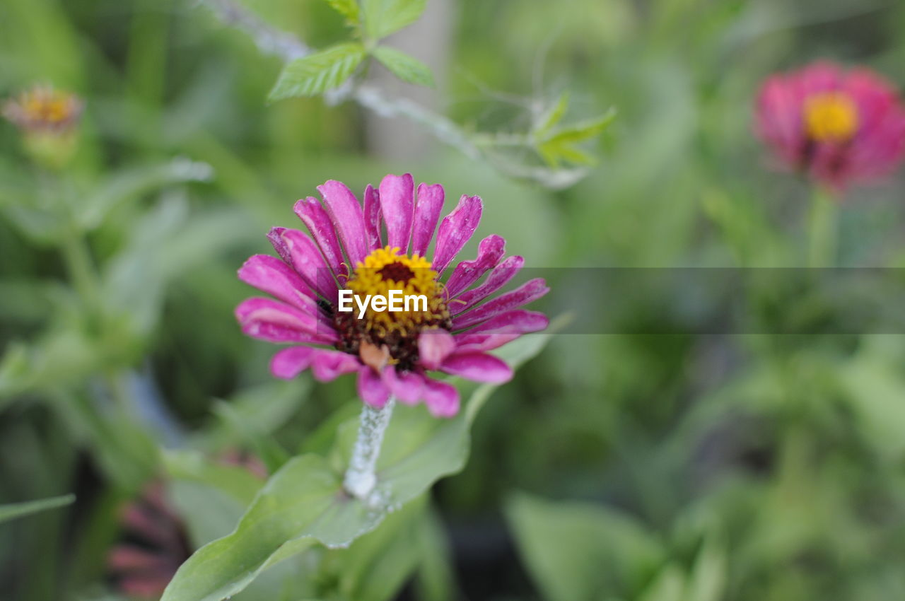 flowering plant, flower, fragility, plant, freshness, vulnerability, beauty in nature, growth, petal, flower head, inflorescence, close-up, pollen, nature, day, focus on foreground, no people, pink color, zinnia, outdoors, purple, gazania, pollination