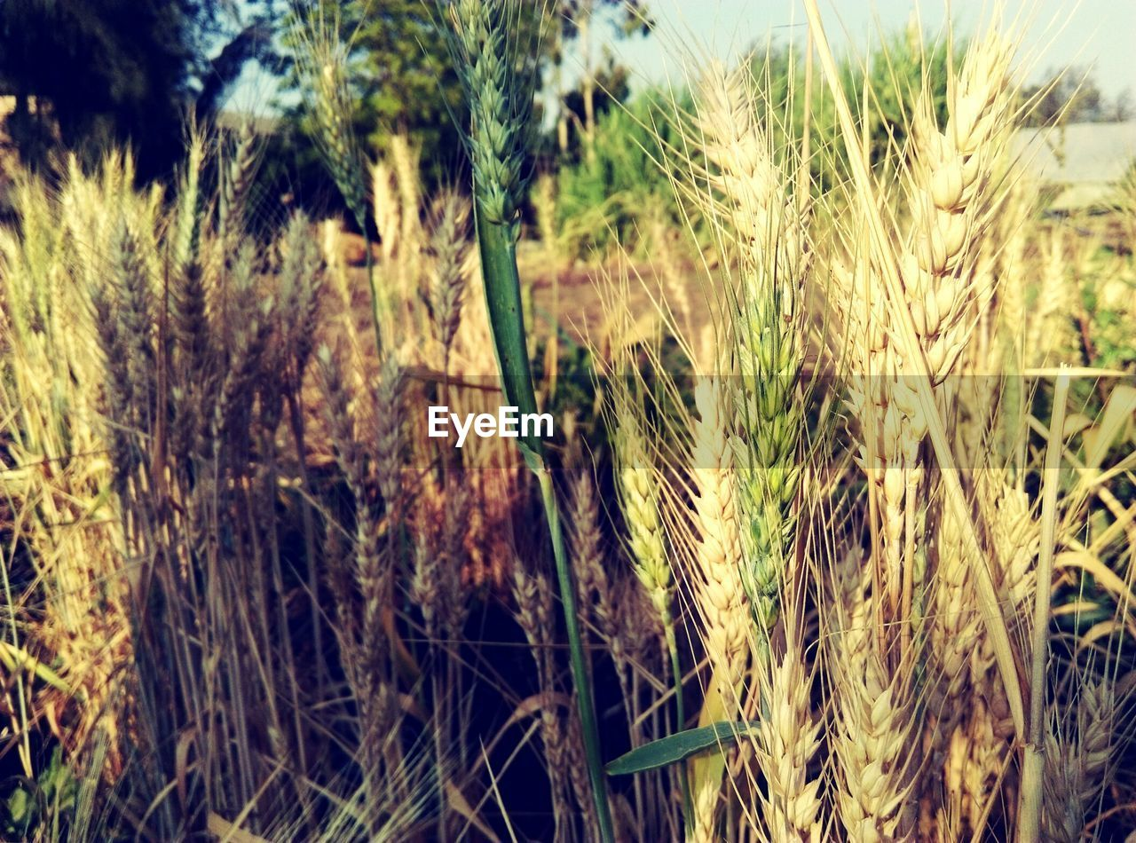 growth, crop, agriculture, cereal plant, farm, field, nature, wheat, plant, rural scene, no people, tranquility, close-up, ear of wheat, outdoors, day, beauty in nature, grass, landscape, sky