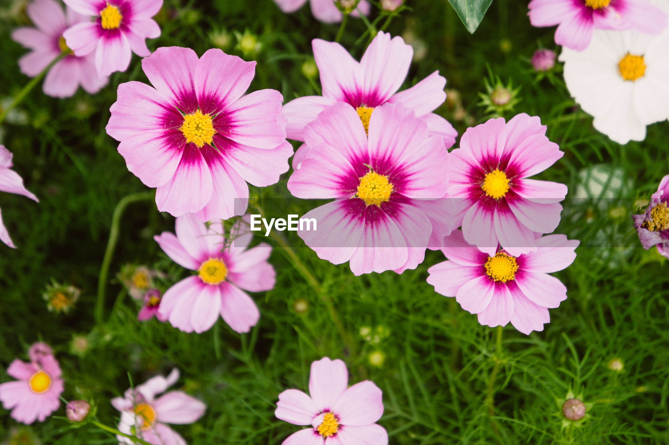 CLOSE-UP OF COSMOS FLOWERS BLOOMING FIELD