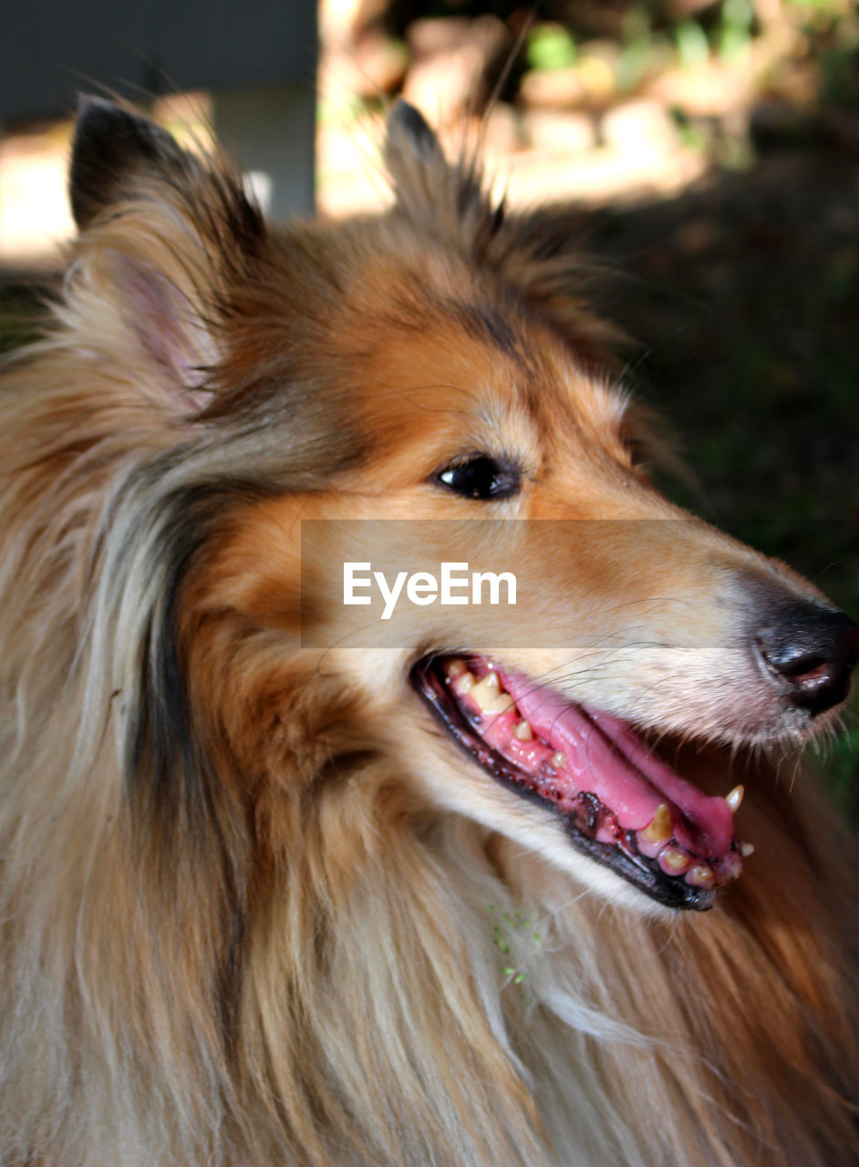 canine, animal, dog, one animal, animal themes, mammal, domestic, pets, close-up, looking away, focus on foreground, domestic animals, looking, vertebrate, hair, animal body part, animal hair, no people, animal head, brown, mouth open, pomeranian, snout