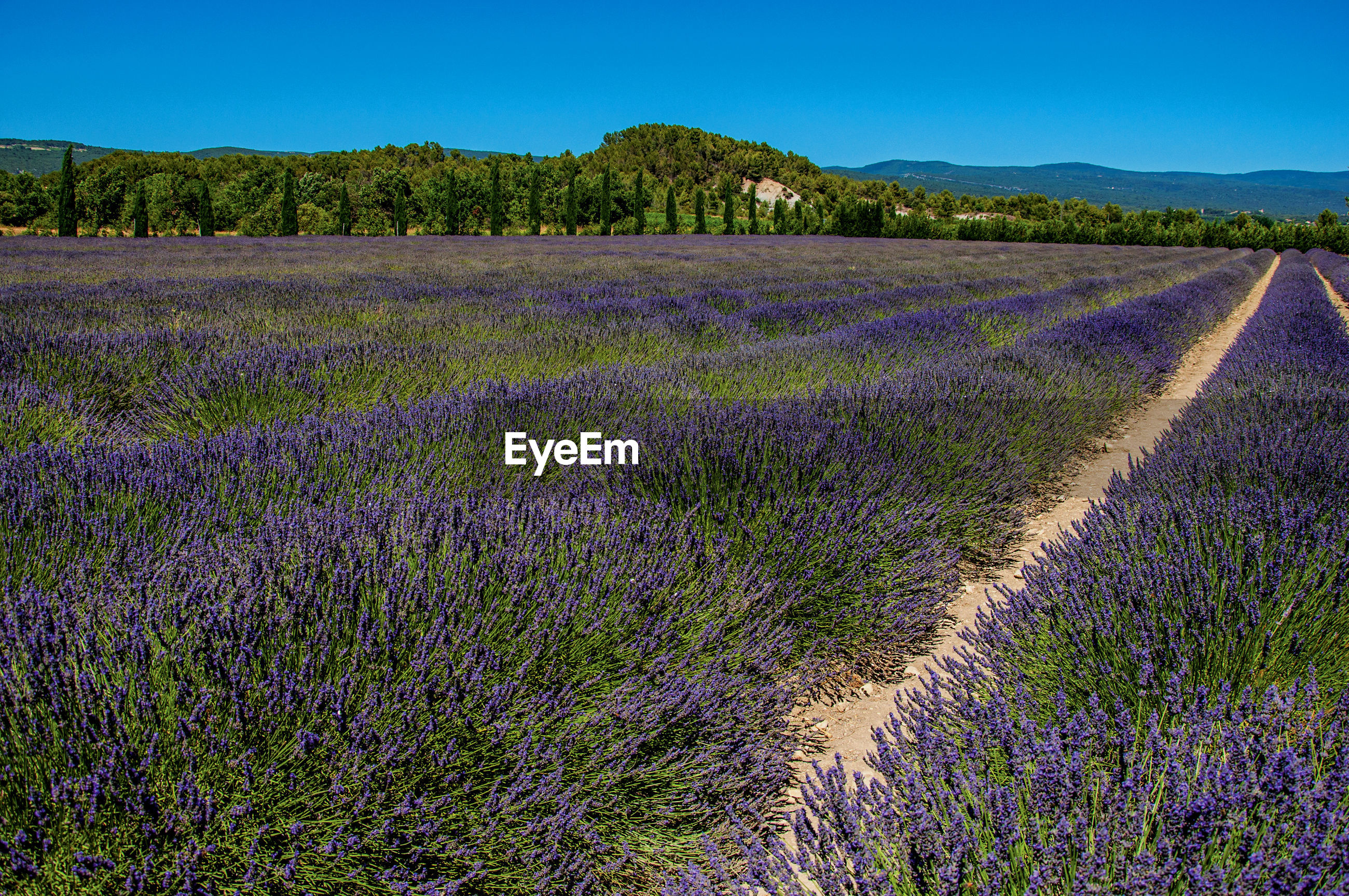 SCENIC VIEW OF FIELD AND PURPLE FLOWERS