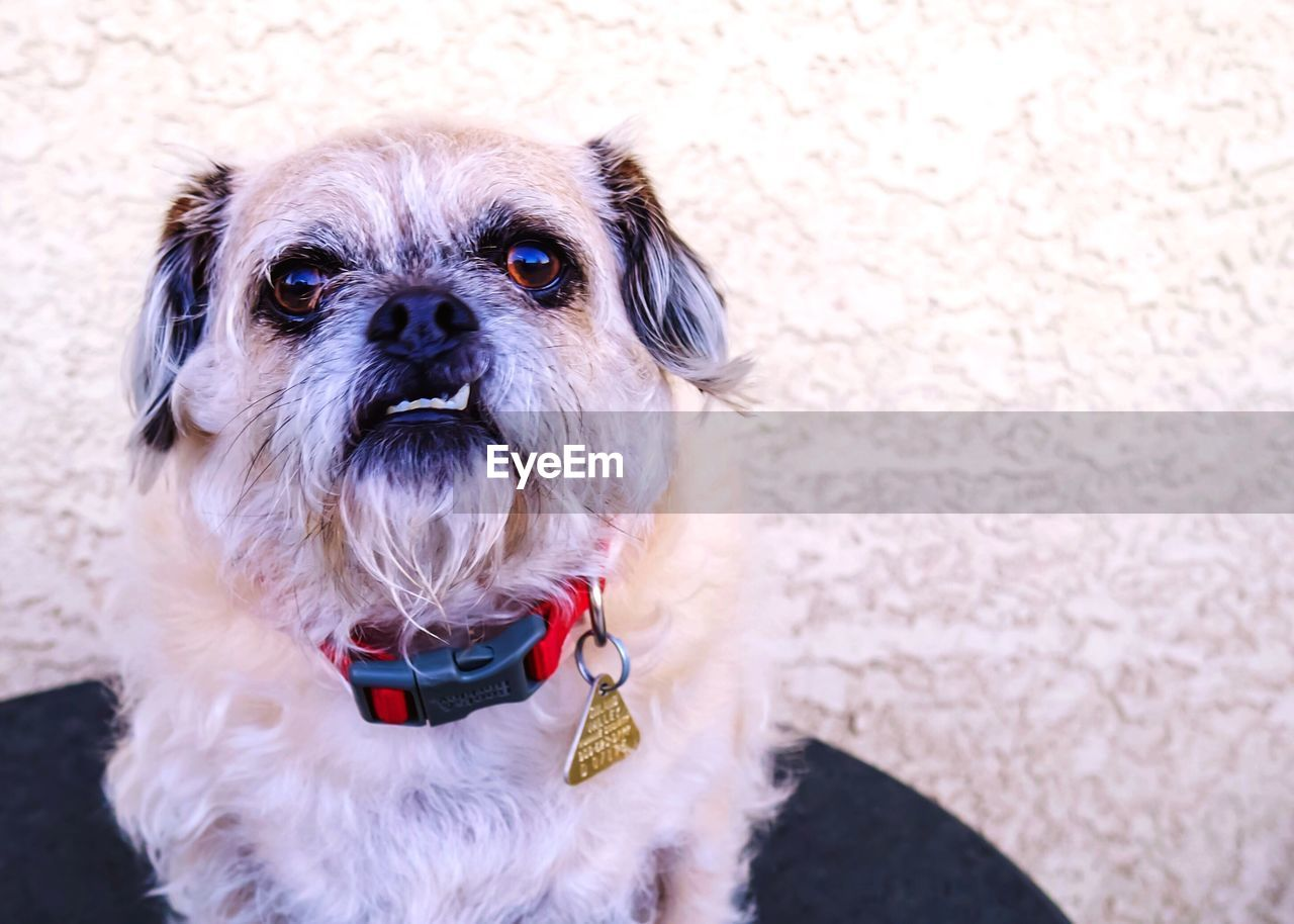 pets, domestic, domestic animals, dog, one animal, mammal, canine, animal themes, animal, vertebrate, portrait, looking at camera, lap dog, no people, small, pet collar, collar, shih tzu, close-up, focus on foreground, animal head