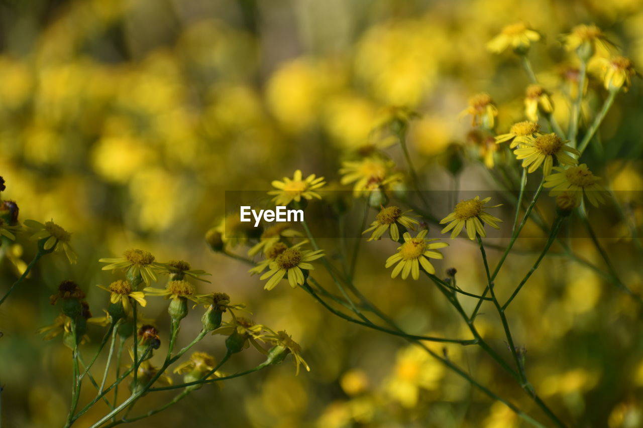 flower, flowering plant, growth, beauty in nature, plant, close-up, fragility, vulnerability, yellow, selective focus, freshness, nature, no people, day, outdoors, field, tranquility, petal, land, flower head