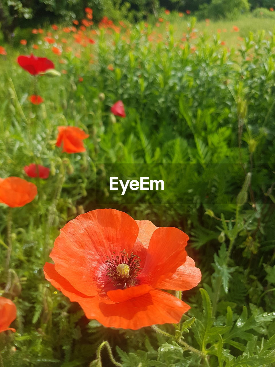flower, petal, beauty in nature, orange color, nature, growth, plant, flower head, fragility, freshness, poppy, blooming, no people, outdoors, field, day, hibiscus, close-up