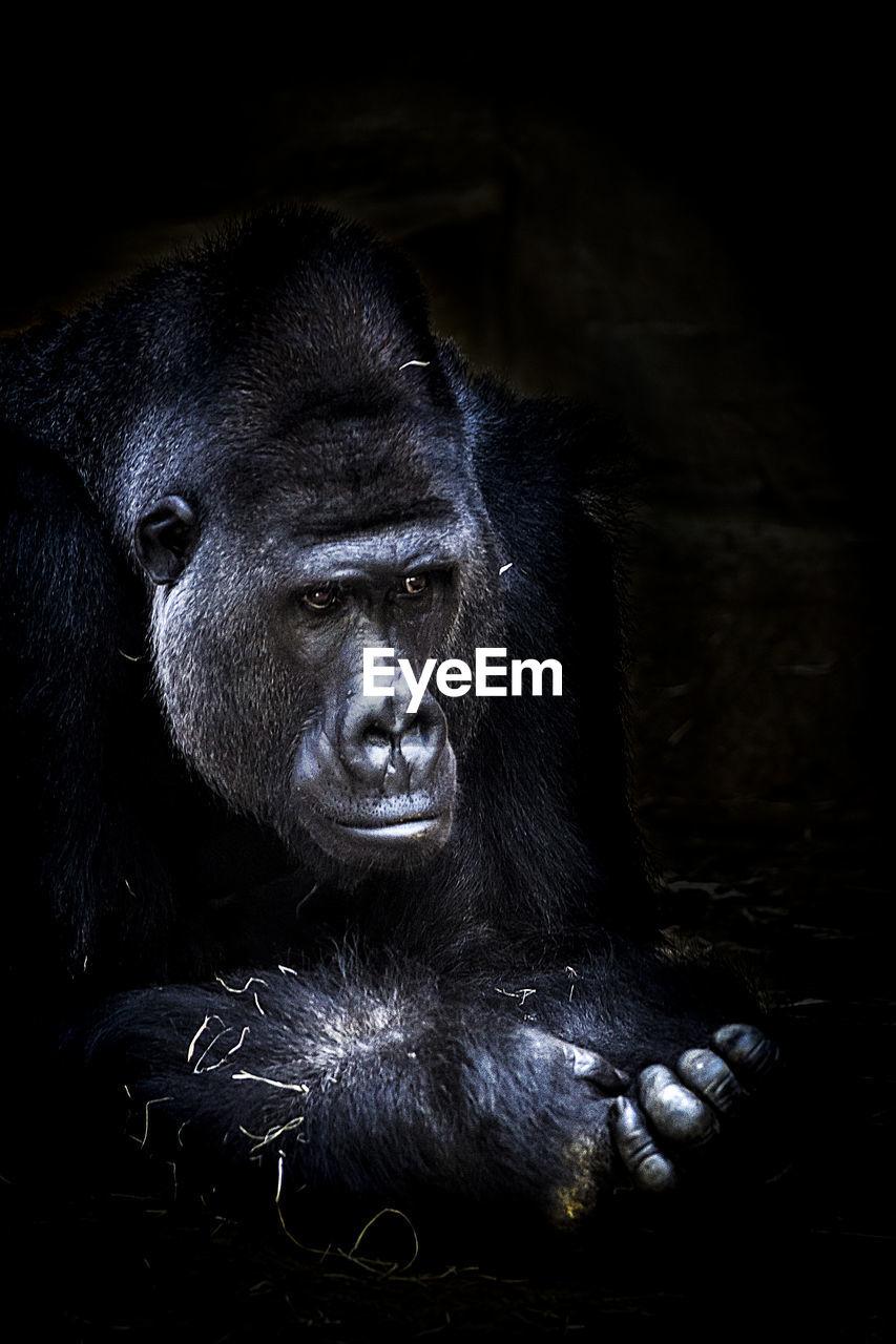 Close-up of gorilla in zoo