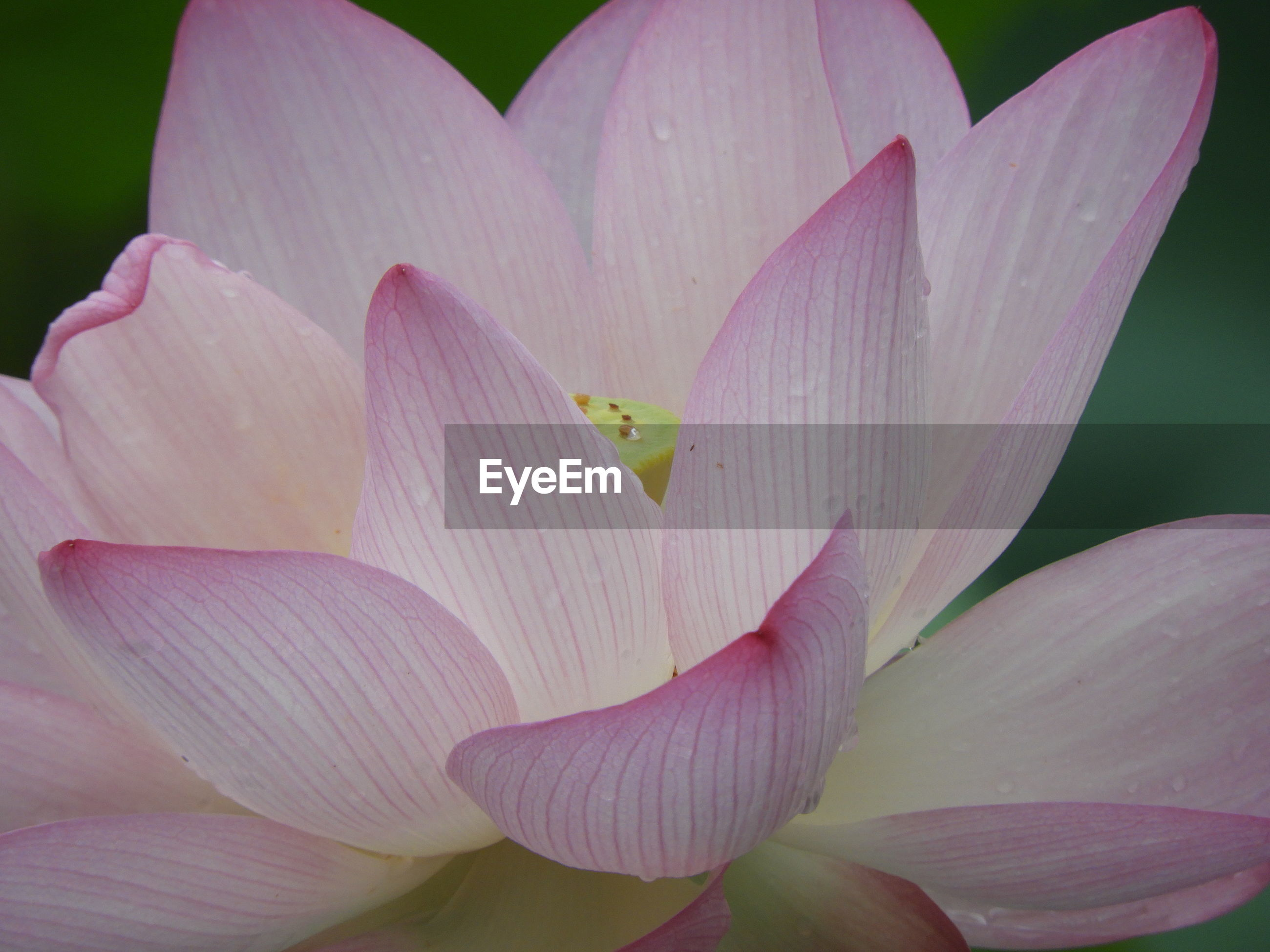 CLOSE-UP OF PINK WATER LILY IN BLOOM