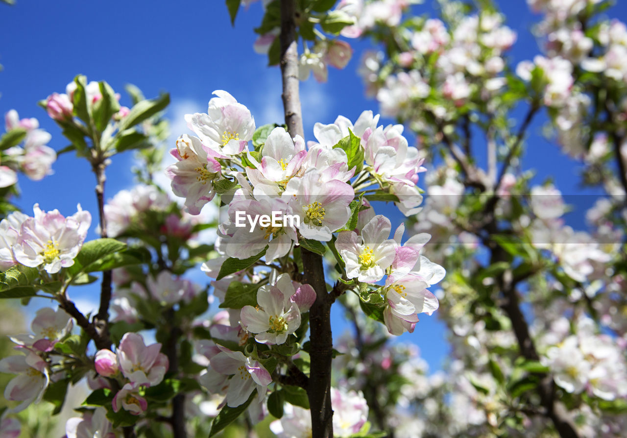flowering plant, flower, fragility, plant, vulnerability, freshness, beauty in nature, growth, tree, close-up, petal, day, focus on foreground, nature, blossom, flower head, sunlight, white color, springtime, no people, outdoors, cherry blossom, cherry tree, bunch of flowers