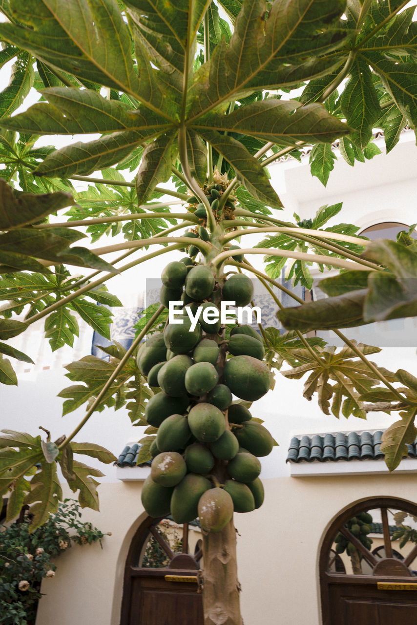 growth, plant, food and drink, healthy eating, fruit, tree, food, green color, leaf, no people, day, plant part, nature, freshness, low angle view, outdoors, palm tree, wellbeing, agriculture, architecture, ripe