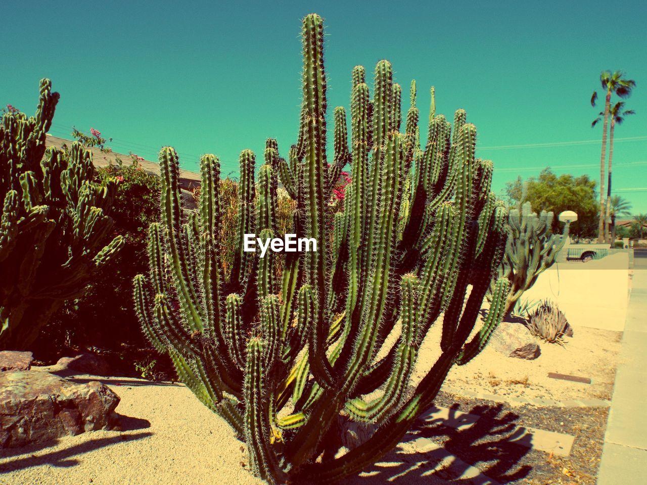 Cactuses Growing In Desert