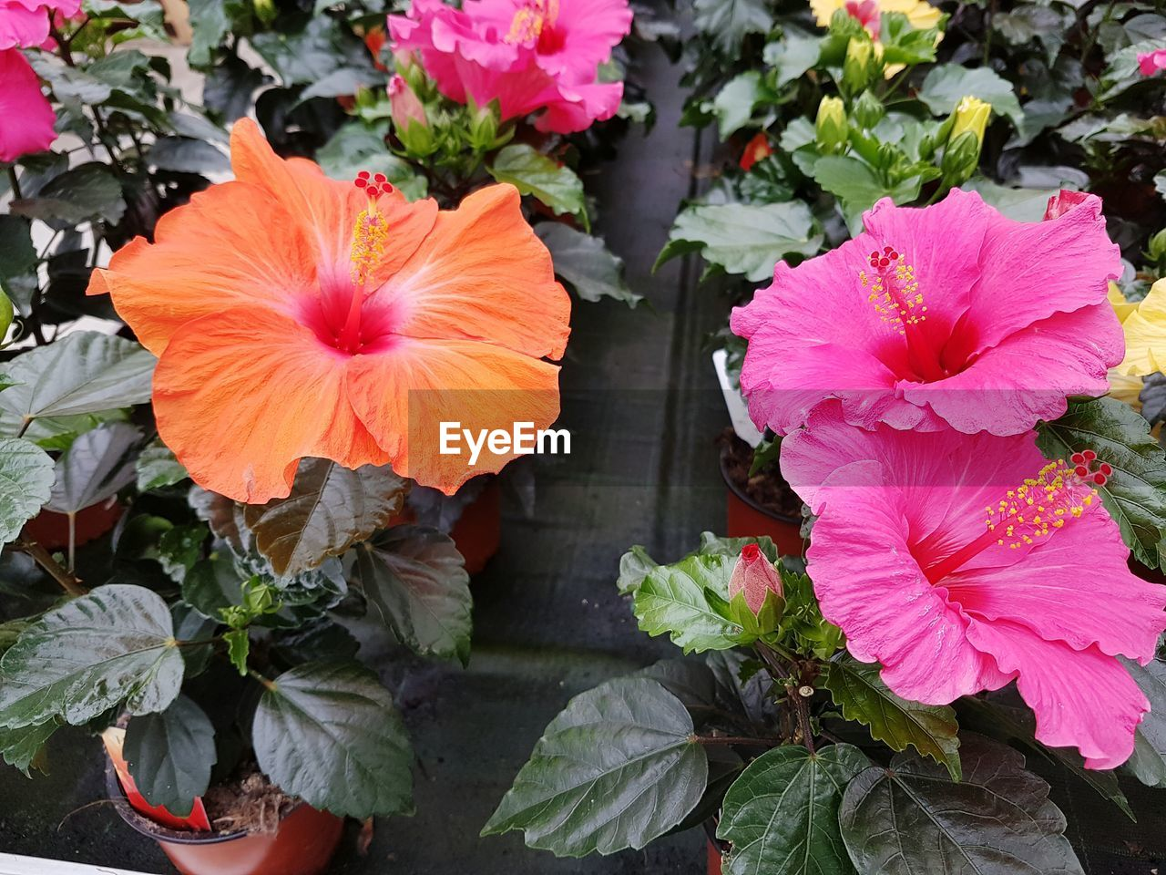 flower, petal, growth, flower head, fragility, nature, plant, beauty in nature, freshness, leaf, outdoors, blooming, day, no people, close-up, hibiscus, petunia