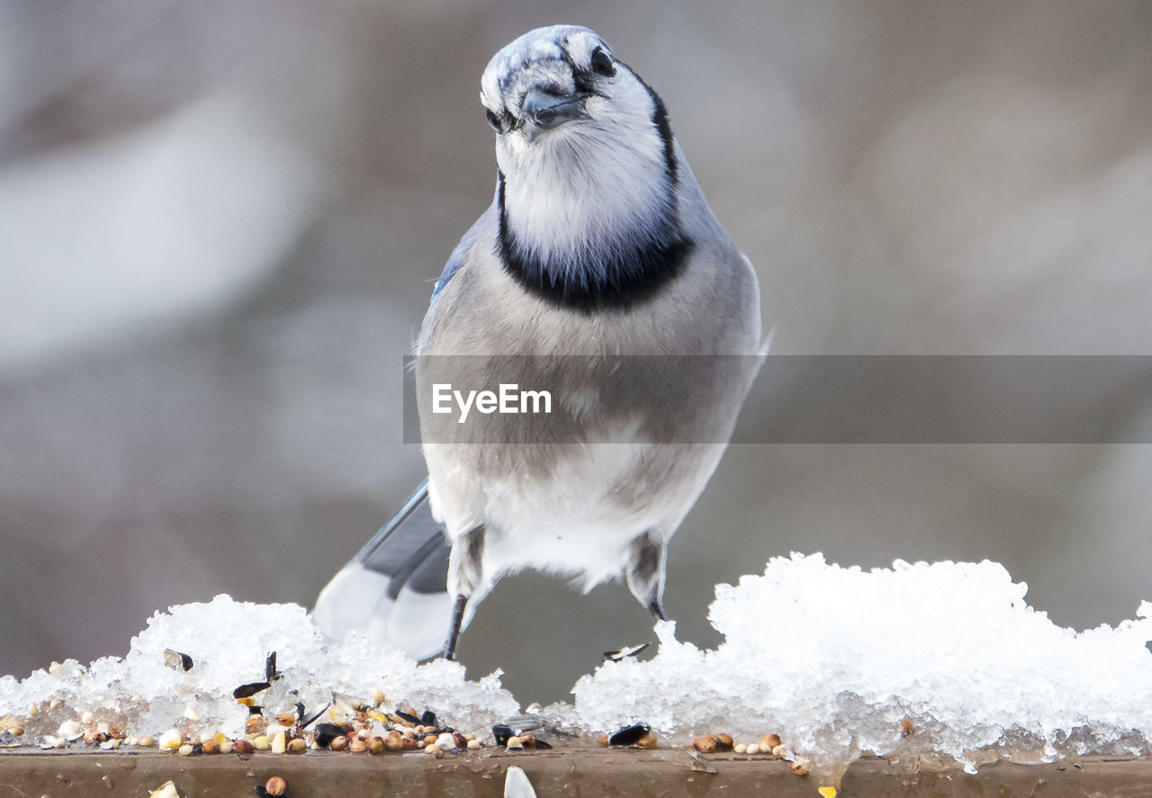 bird, animal themes, animal, animal wildlife, vertebrate, animals in the wild, one animal, snow, winter, perching, focus on foreground, cold temperature, day, close-up, no people, nature, white color, beauty in nature, outdoors