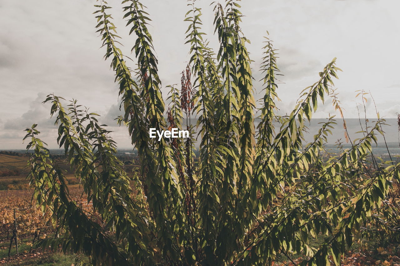 growth, plant, beauty in nature, tranquility, nature, no people, sky, day, green color, agriculture, field, crop, land, close-up, outdoors, cereal plant, farm, focus on foreground, landscape, scenics - nature, plantation, stalk