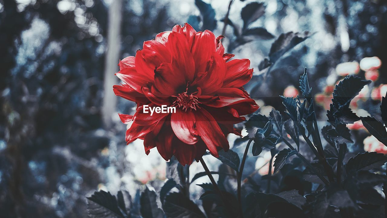 flower, petal, nature, beauty in nature, red, fragility, growth, freshness, flower head, no people, plant, blooming, close-up, hibiscus, day, outdoors, tree