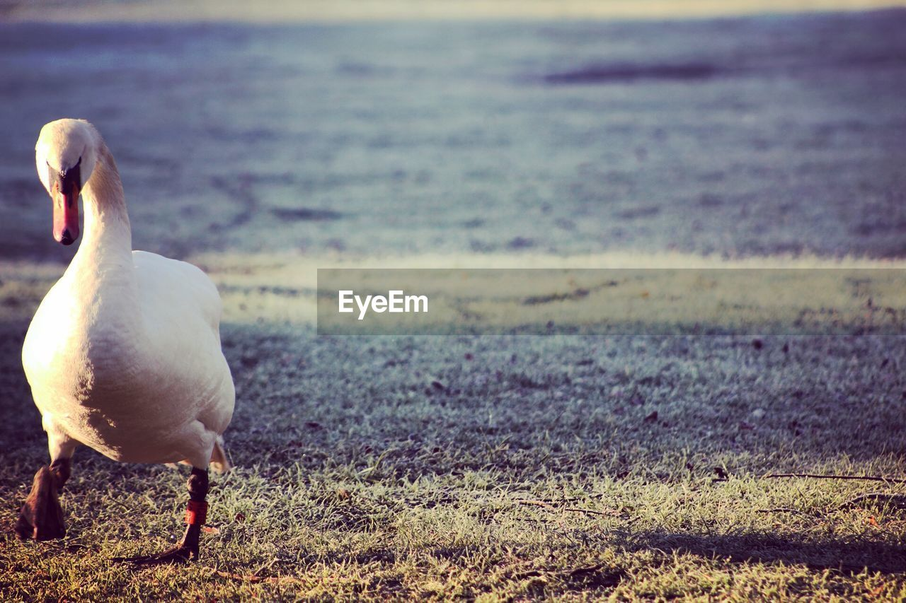 bird, animals in the wild, animal themes, one animal, focus on foreground, animal wildlife, nature, no people, day, outdoors, water, grass, beauty in nature, close-up, swan