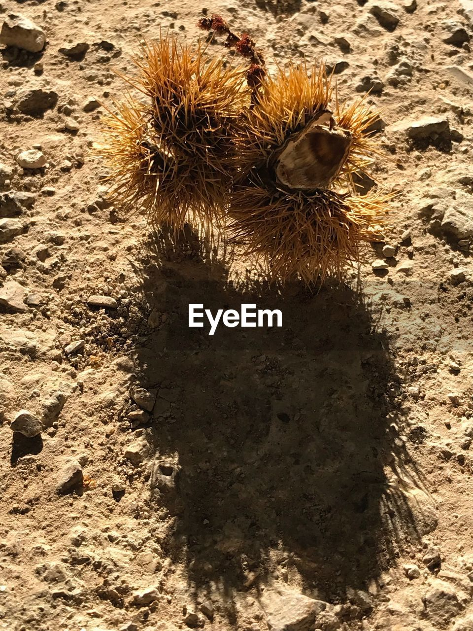 animal, animal wildlife, animal themes, sunlight, nature, one animal, land, animals in the wild, no people, day, invertebrate, insect, high angle view, sand, close-up, outdoors, shadow, spiked, brown, beach, arid climate