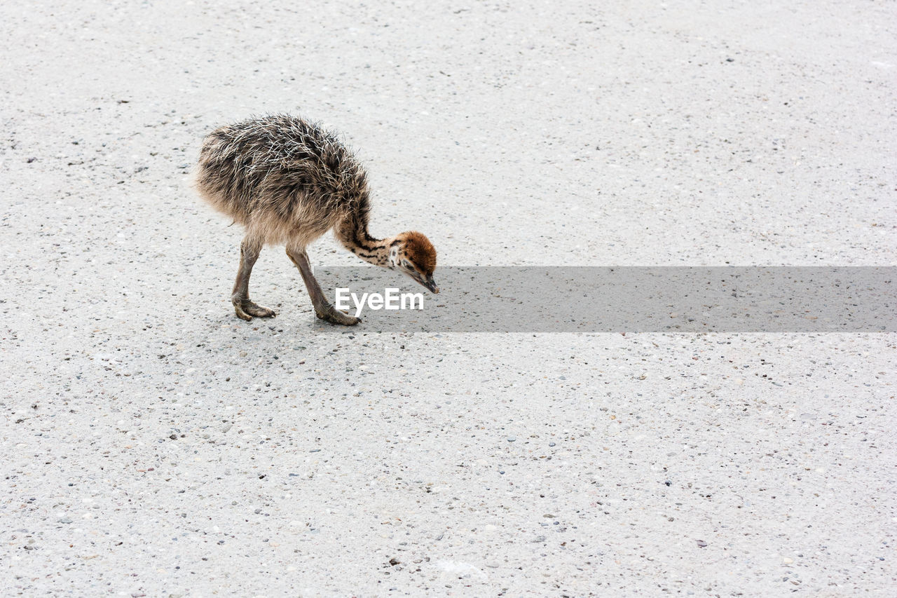animal, mammal, animal themes, one animal, animal wildlife, vertebrate, animals in the wild, no people, domestic animals, domestic, day, pets, walking, road, nature, land, high angle view, outdoors, full length, street