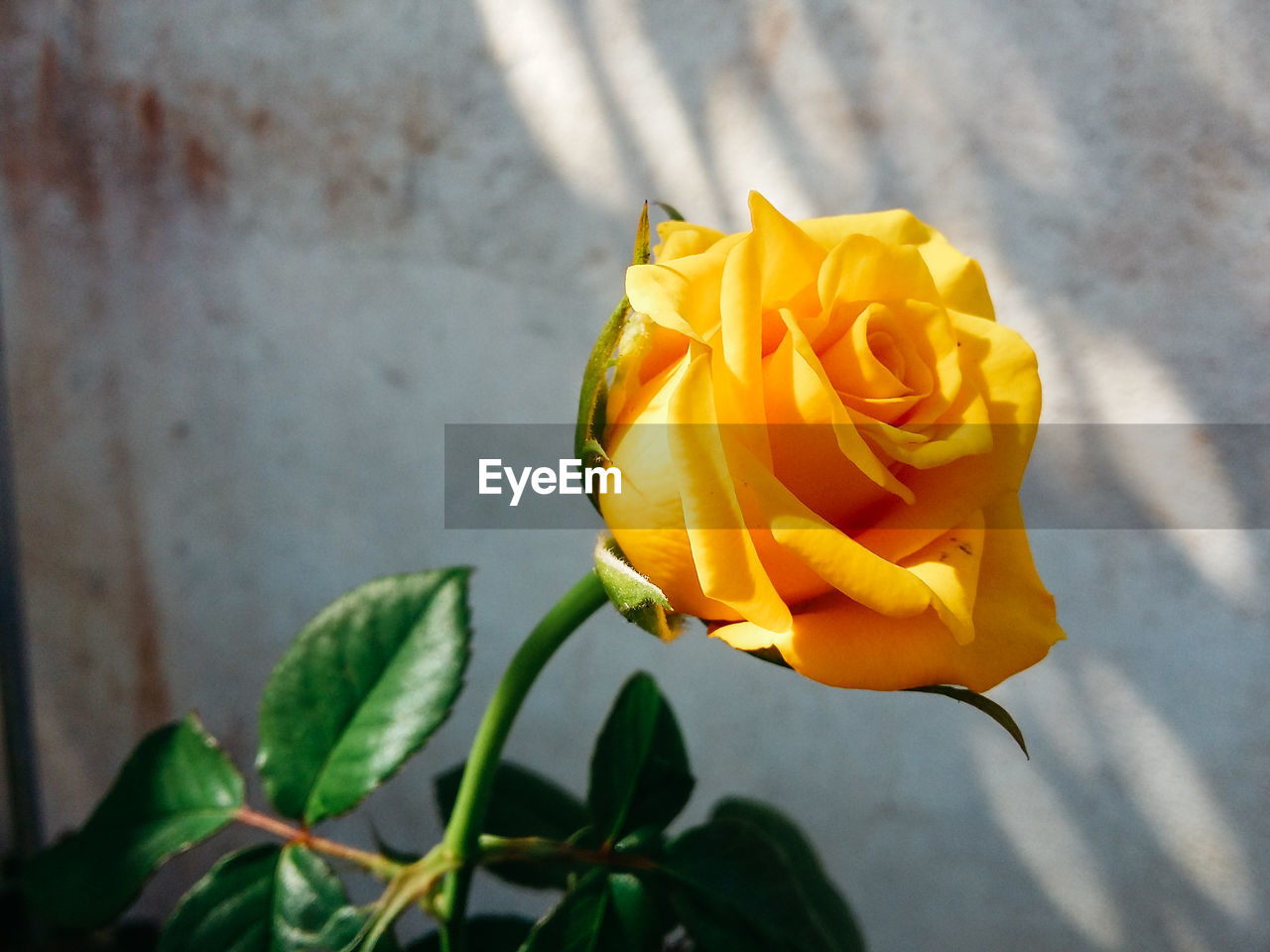 flower, flowering plant, plant, beauty in nature, rose, petal, freshness, flower head, yellow, inflorescence, vulnerability, close-up, rose - flower, fragility, nature, plant part, leaf, growth, no people, outdoors