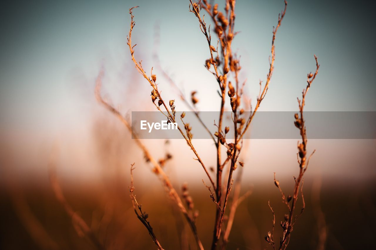 plant, growth, beauty in nature, nature, focus on foreground, close-up, tranquility, no people, sky, selective focus, day, sunset, outdoors, crop, field, agriculture, plant stem, land, sunlight, scenics - nature, stalk