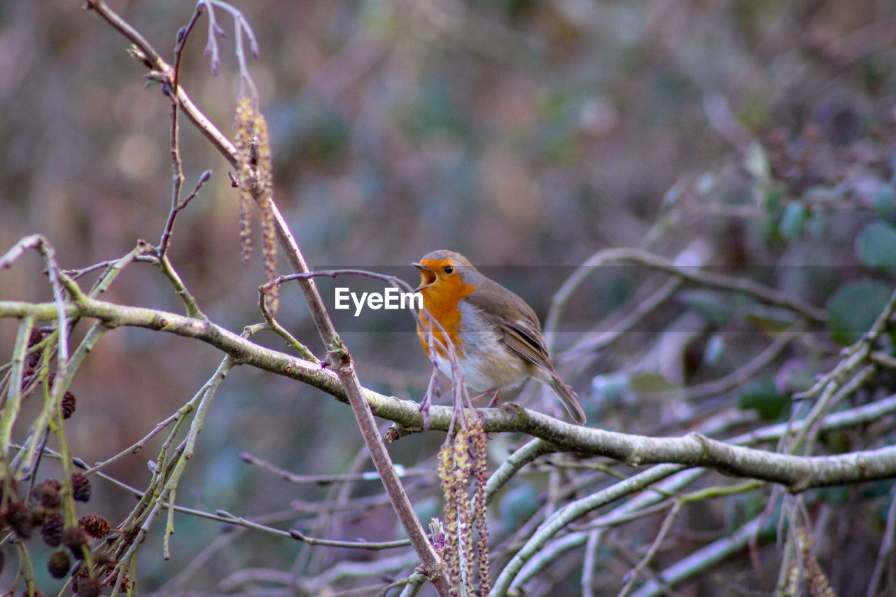 bird, animal themes, animal wildlife, animals in the wild, animal, vertebrate, perching, one animal, tree, branch, plant, no people, day, focus on foreground, nature, robin, outdoors, selective focus, bare tree, beauty in nature