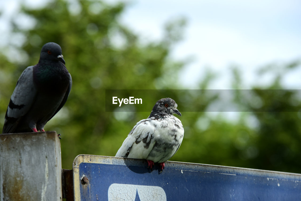 vertebrate, bird, perching, animal themes, animal, focus on foreground, animal wildlife, day, group of animals, animals in the wild, two animals, nature, wood - material, pigeon, no people, outdoors, railing, close-up, metal, zoology