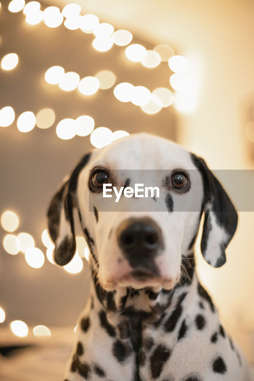 dog, one animal, canine, mammal, domestic, animal themes, dalmatian dog, domestic animals, animal, pets, illuminated, focus on foreground, portrait, vertebrate, no people, spotted, indoors, close-up, looking, looking away, animal head